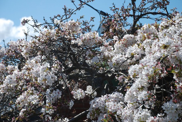 Blossom by Claire Rosslyn Wilson