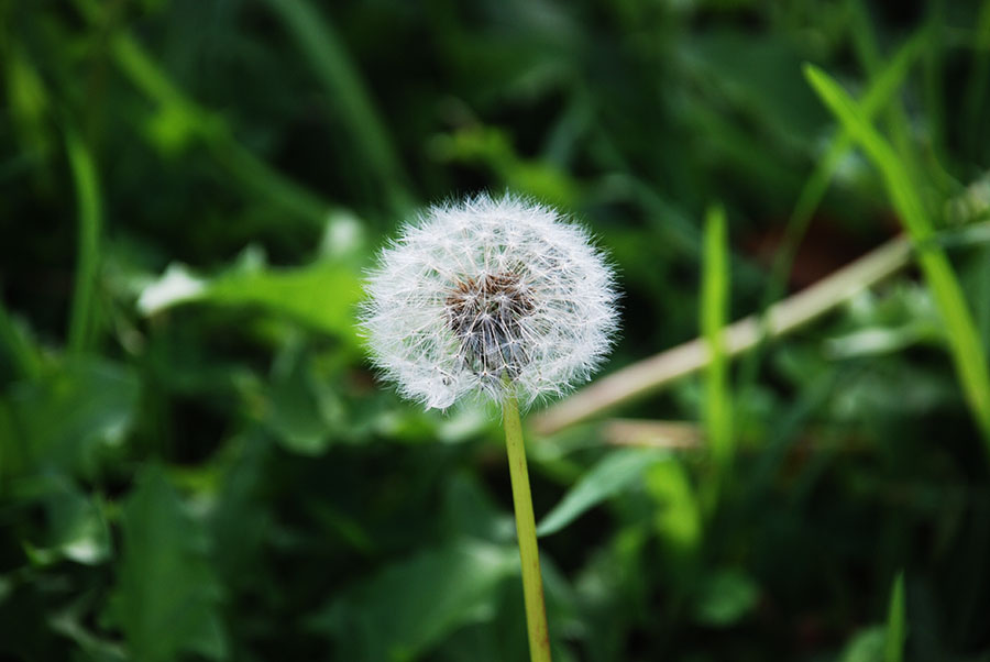Dandelion wishes by Claire Rosslyn Wilson