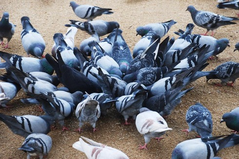 Pigeon gathering by Claire Rosslyn Wilson