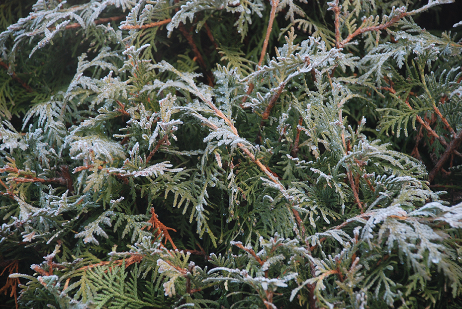 Frosted leaves by Claire Rosslyn Wilson